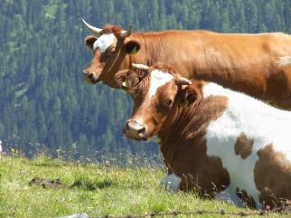 cows-5
